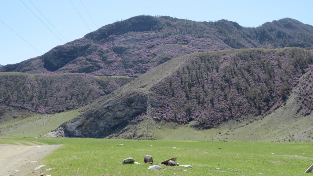 Цветение маральника на Алтае