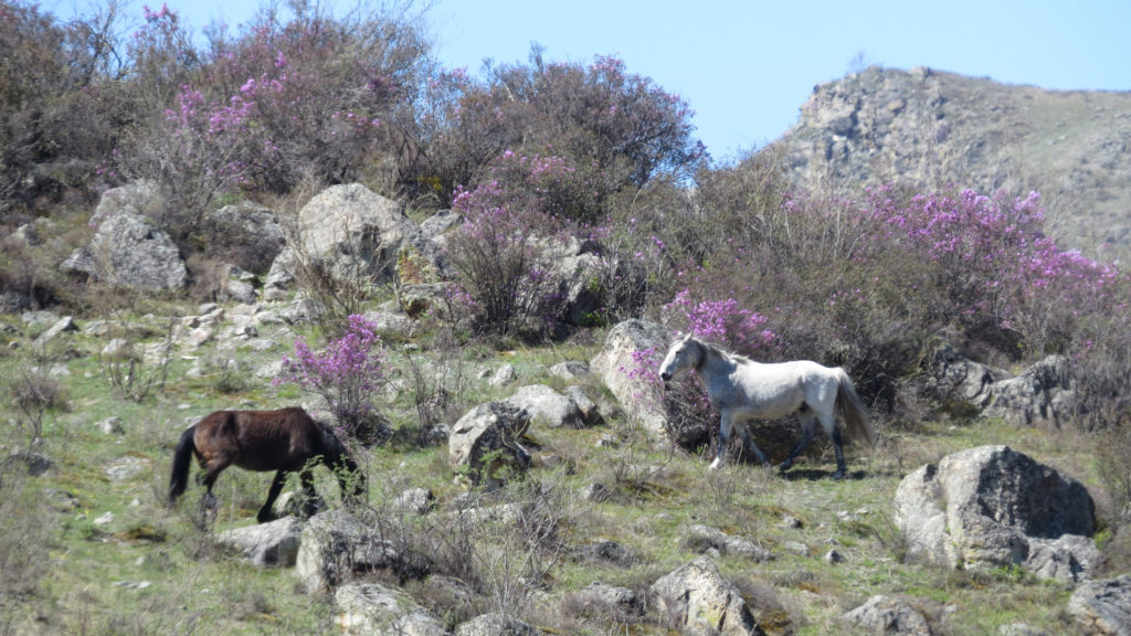 Цветение маральника на Алтае и лошадки